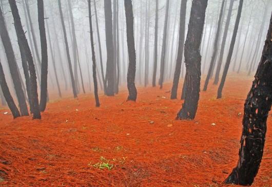 26. Kausaniの霧の松林(インド)